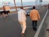 شاهد رئيس مدينة دمياط أثناء مطاردته بقرة بطريق دمياط بورسعيد