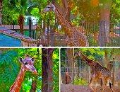 حديقة الحيوان بالجيزة تستعد لاستقبال 3 زرافات أفريقية.. اقرأ التفاصيل
