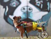 شاهد.. كلب فقد قدميه فصنعوا له عجلات تساعده على الحركة