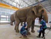 شاهد.. كيف تعالج الهند الفيلة فى أول مستشفى لها؟