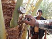صور.. زراعة الوادى الجديد ترصد حالات إصابة جديدة بمرض سوسة النخيل