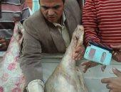 ضبط طن دواجن مذبوحة خارج المجازر وأسماك غير صالحة للاستهلاك بكفر الشيخ