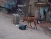 قارئ يشكو انتشار الكلاب الضالة بشارع السوق بمنطقة بشتيل