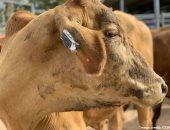 علماء أستراليون يطورون سوار لياقة بدنية مخصص للأبقار