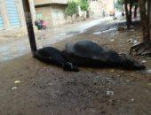 مزارع بعد صعق مواشيه بسبب الأمطار بالشرقية: أطالب المحافظ بالتعويض