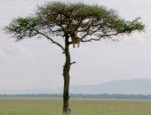يا خسارتك يا ملك الغابة.. أسد يتسلق شجرة بمحمية طبيعية فى كينيا هروباً من 3 لبئوات