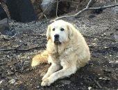 آخر وفاء × 5 صور .. اعرف ماذا فعل كلب بعد احتراق منزل صاحبته فى كاليفورنيا