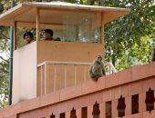 قبل الانتخابات.. القرود صداع فى رأس الحكومة الهندية فى المرحلة المقبلة