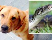 ضحى بنفسه عشانهم.. كلب يتصدى لثعبان ضخم لحماية منزل صاحبه بماليزيا