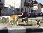 قارىء يشكو من انتشار الكلاب الضالة بمنطقة سموحه بالاسكندرية
