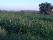 مزارعو أسوان يستعدون لكسر محصول القصب.. وحرق السفير وحوادث الجرارات أبرز المخاطر