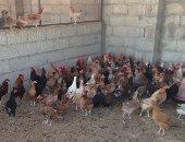 أسعار الفراخ والبيض اليوم الجمعة 8-3-2019 بسوق العبور