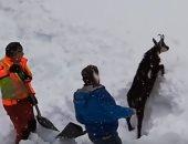 شاهد.. عمال السكة الحديد ينقذون تيسًا من تحت الثلوج بالنمسا