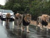 أربع أسود تسير فى الطريق وتتسبب فى الزحام بجنوب إفريقيا.. فيديو