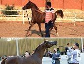 """الاثنين.. """"الزراعة"""" تنظم دورات تدريبية لمربى الخيول بمحطة الزهراء مجانًا"""