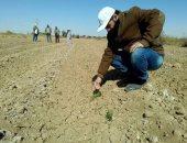 نجاح تجربة القمح المحتمل الملوحة العالية على مياه الصرف الزراعى بالوادى الجديد
