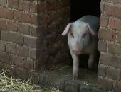 شاهد.. فرنسا تنشر الجيش لصيد الخنازير البرية