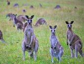 أسترالى يقر بذنبه فى مجزرة حيوانات الكنجر ..والحكم 500 ساعة عمل منفعة عامة