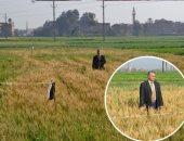 """صور.. """"مجدى"""" ينجح فى زراعة القمح مرتين فى العام الواحد بالشرقية.. ويؤكد: أزرع أكثر من محصول بالسنة وإنتاجية الأرز زادت.. ولا أستهلك كميات كبيرة من المياه.. والأهالى بدأت تعميم التجربة فى القرية"""