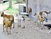 شكوى من انتشار الكلاب الضالة بعزبة أبوكاشيك فى محافظة البحيرة