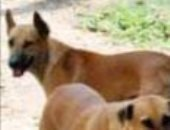 انتشار الكلاب الضالة بكثافىة فى شوارع حى الزيتون