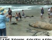 """فيديو.. فيل البحر """"بوفل"""" يجتاز 6500 كلم من البحر ويصل إلى شاطئ كيب تاون"""