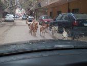 شكوى من انتشار الكلاب الضالة بالمجاورة 8 بالتجمع الأول بالقاهرة الجديدة