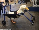 اتولدت برجل واحدة .. شركة تبتكر كرسيا متحركا لبطة معاقة لتتمكن من المشى