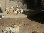 شكوى من انتشار الكلاب الضالة بشارع ابوبكر بمنطقة السيوف بالاسكندرية