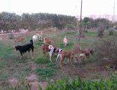 شكوى من انتشار الكلاب الضالة بحى البشاير بمدينة 6 أكتوبر
