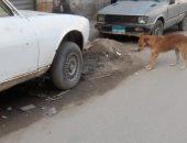 الكلاب الضالة تهدد سلامة المواطنين بمنطقة السيوف فى الإسكندرية