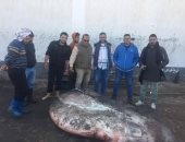 مدير إدارة الأزمات بكفر الشيخ: لم نرصد حالات تسمم لآكلى سمكة الشمس المحيطية