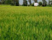 صور.. توزيع تقاوٍ لأصناف جديدة من الأرز  قليل استهلاك المياه بكفر الشيخ