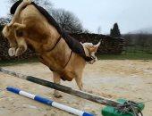 """""""هرب من الذبح"""".. ثور فرنسى رشيق ينافس حصانا فى قفز الحواجز.. صور"""