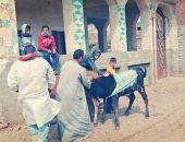 تحصين 150ألف و806 حيوان ضد مرض جدرى الماشية بكفر الشيخ