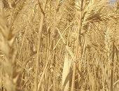 تموين المنيا: توريد 1581 طن قمح منذ بدء موسم الحصاد