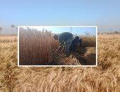 الزراعة تعلن بدء موسم حصاد القمح من الفيوم