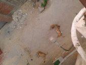 انتشار الكلاب الضالة يؤرق سكان شارع مسجد الرحمة فى بولاق