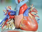 قلبك عضلة ولا عضو..ميكس بين الاتنين وبداخله 4 غرف