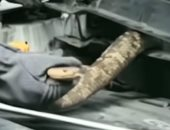 شاهد.. العثور على كوبرا بطول 2.7 متر داخل محرك سيارة فى الصين