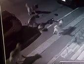 """شجاعة قطة.. هاجمت نص دستة كلاب حاولوا الانقضاض عليها """"فيديو"""""""