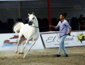 لأول مرة.. مسابقة ملكة جمال للخيول العربية بنادى الفروسية.. صور