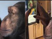 """""""مش الإنسان بس"""".. قدرة غريبة لشمبانزى على تصفح إنستجرام.. فيديو"""