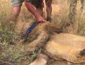 مذبحة مروعة .. قتل 54 أسدا فى مزرعة بجنوب أفريقيا خلال يومين فقط