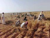مبادرة الحصاد الخيرى فى مطروح.. الأهالى يتطوعون لجمع محصول القمح والشعير