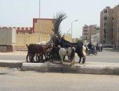 صور .. اضبط مخالفة.. الماعز يقضى على تشجير شارع التعمير فى بورسعيد