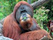 علماء يحذرون من خطورة فيروس كورونا على القرود.. اعرف القصة