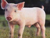 """قصص الحيوان فى القرآن.. """"الخنزير"""" حُرِمَ فى أكثر من سورة"""