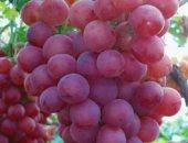 اعرف إجراءات الزراعة لأصناف العنب المطعوم × 15 معلومة