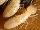 الخدمات الزراعية: لجان متخصصة لمكافحة النمل الأبيض وخط ساخن للبلاغات